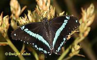 LE45-536z  Nireus Swallowtail Butterfly, Narrow Green Banded Swallowtail, Papilio nireus, Africa