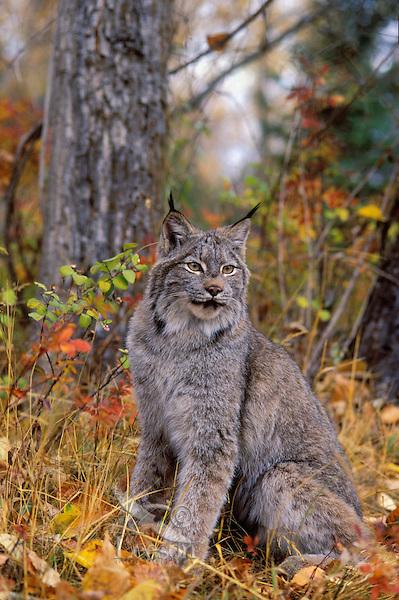 Lynx in autumn aspen forest. Rocky Mountains. North America. Felis lynx canadensis.
