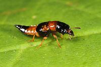 Roter Bunträuber, Roter Pilzraubkäfer, Buntkurzflügler, Bunt-Kurzflügler, Kurzflügler, Oxyporus rufus, Oxyporus minarzi, Staphylinus nigrofulvus, rove beetle, L'Oxypore roux