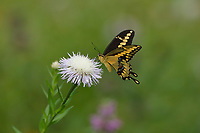Giant Swallowtail (Papilio cresphontes), adult feeding on American basket-flower (Centaurea americana), Hill Country, Central Texas, USA