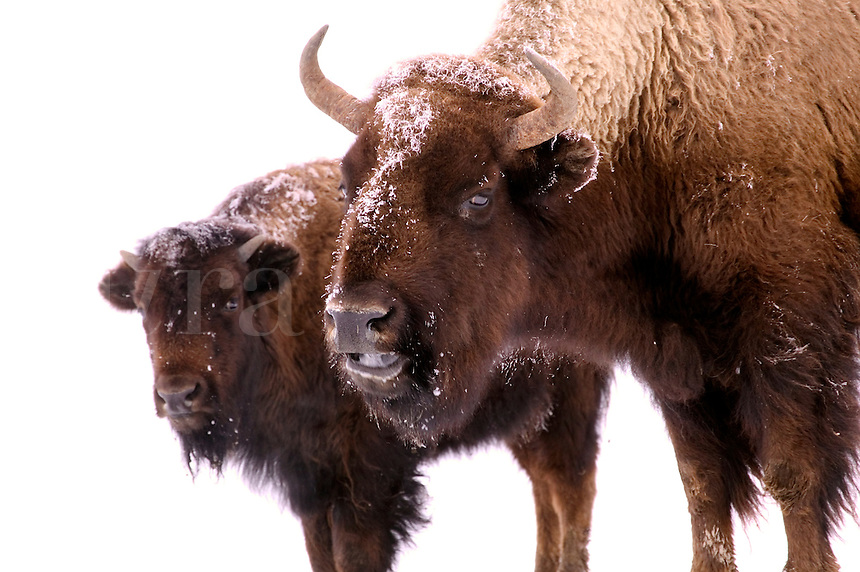 Buffalo in snow.
