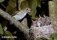 FC01-002x  Least Flycatcher - adult feeding young on lilac tree - Empidonax minimus