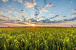 Blue Mound State Park, Minnesota: Field of goldenrod (Solidago speciosa) at sunrise in summer