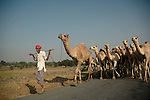 A camel owner returns back home from Sonerpur fair. Bihar, India, Arindam Mukherjee