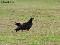 0111-0962  Turkey Vulture, Cathartes aura  © David Kuhn/Dwight Kuhn Photography