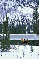 Cow moose near Wiseman, Alaska along the Trans Alaska Oil Pipeline