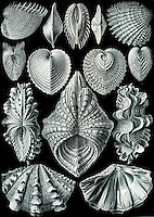 Acephala Bivalvia (Mollusks), by Ernst Haeckel, 1904