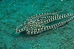 Mimic octopus (Thaumoctopus mimicus)
