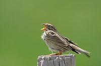 Singende Vögel - singing birds