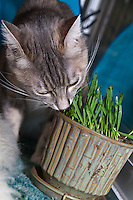 Cats eating grass