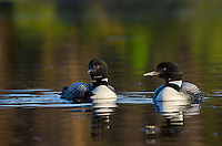 Common Loons--adults with young chick (Gavia immer).  Northern North America, Summer.  Sometimes also called Great Northern Loon or Diver.