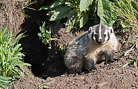 This sett (that's what you call a badger den) was in the perfect position: 25 yards away, just below eye level, with nice morning light shining on it.