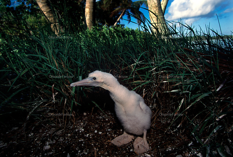 """A baby booby waits for its mother. The largest purchase to date for the Nature Conservancy is the Palmyra an atoll situated about 300 miles north of the equator.  Palmyra has five times as many coral species as the Florida Keys and three times as many as Hawaii.  It is home to the world's largest invertebrate, the rare coconut crab, and a population of red-footed booby birds second only to that of the Galapagos.  It is the last marine wilderness area left in the U.S. tropics and is home to the last remaining stands of Pisonia grandis beach forest in the world.  Palmyra was a US Navy supply base in World War II, the site of a proposed nuclear waste dump, an unsuccessful coconut plantation and of various development schemes.  Palmyra is most famous for the 1974 slaying  of a married couple which became the subject of the best-selling book """"And the Sea Will Tell,"""" by Vincent Bugliosi."""