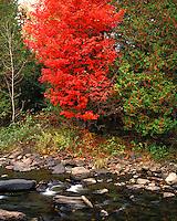 Maple tree in fall color along a stream near Keyser Pond, VT