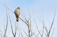 American kestrels are a common sight in the Skagit Valley in winter.