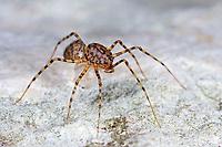 Speispinne, Spei-Spinne, mit Eipaket, Eier, Ei, Scytodes thoracica, spitting spider, Speispinnen, Scytodidae