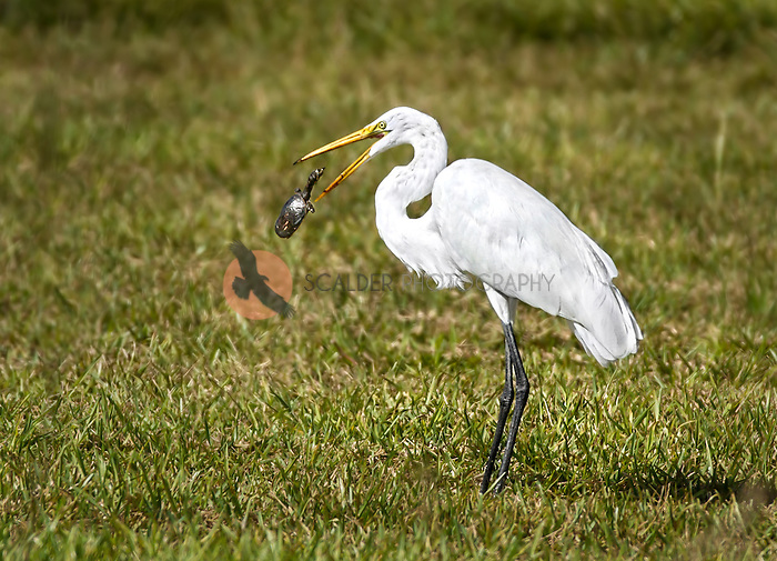 Great Egret feeding on turtle with turtle in midair
