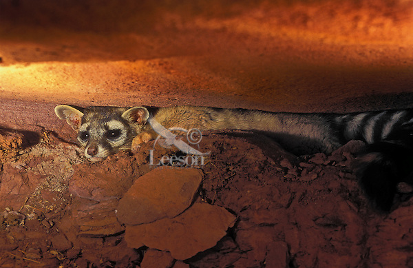 RINGTAIL. Den is often found in cliffs, between or under rocks..Canyonlands NP, Utah..(Bassariscus astutus).