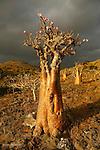 Adenium socotranum en début de floraison sur le plateau de Omhill. Ile de Socotra. Yemen..Adenium socotranum with flowers on the Omhill road. Socotra island; Yemen