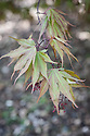 Acer palmatum 'Idenosato', late April.