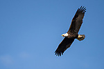 Brazoria County, Damon, Texas; an adult bald eagle flying overhead with its beak open while vocalizing, in early morning sunlight against a blue sky
