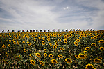 The peloton race by the sunflower fields during Stage 11 of the 2019 Tour de France running 167km from Albi to Toulouse, France. 17th July 2019.<br /> Picture: ASO/Pauline Ballet   Cyclefile<br /> All photos usage must carry mandatory copyright credit (© Cyclefile   ASO/Pauline Ballet)