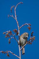 Lincoln's Sparrow, Melospiza lincolnii,Rocky Mountain National Park, Colorado, USA, June 2007