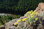 Yellow Sulphurflowers growing high above the Smith River in Montana