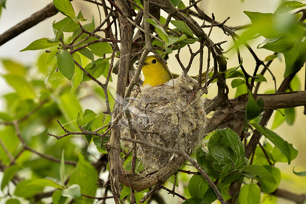 Female Yellow Warbler on nest (Setophaga petechia).  Great Lakes Region.  May.