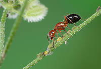 Acrobat Ant (Crematogaster spp), adults milking aphids, Hill Country, Central Texas, USA