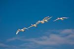 Hokkaido, Japan<br /> Whooper Swans (Cygnus cygnus) flying in a  formation over Lake Kussharo, Akan National Park