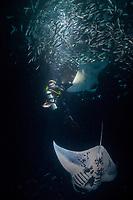 Douglas Seifert photographs reef manta rays, Mobula alfredi, feeding on plankton attracted by lights placed by divers at night among Hawaiian flagtail or aholehole, Kuhlia xenura ( endemic species), schooling in Makako Bay, Keahole, Kona, Hawaii Island ( the Big Island ), Hawaii, USA ( Central Pacific Ocean ) MR 474