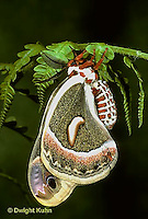 LE01-007x   Cecropia Moth - adult male - Hyalophora cecropia