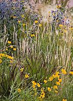 Colorado meadow garden with Western Wheat Grass (Agropyron or Pascopyrum smithii) , Switchgrass, Panicum '(Shenandoah'), Ratibida and Eryngium  design by Tom Peace (Woods)