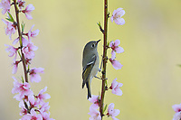 Ruby-crowned Kinglet (Regulus calendula), adult perched on blooming Peach tree (Prunus persica), Hill Country, Central Texas, USA