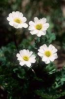 Korianderblättrige Schmuckblume, Koriander-Schmuckblume, Callianthemum coriandrifolium