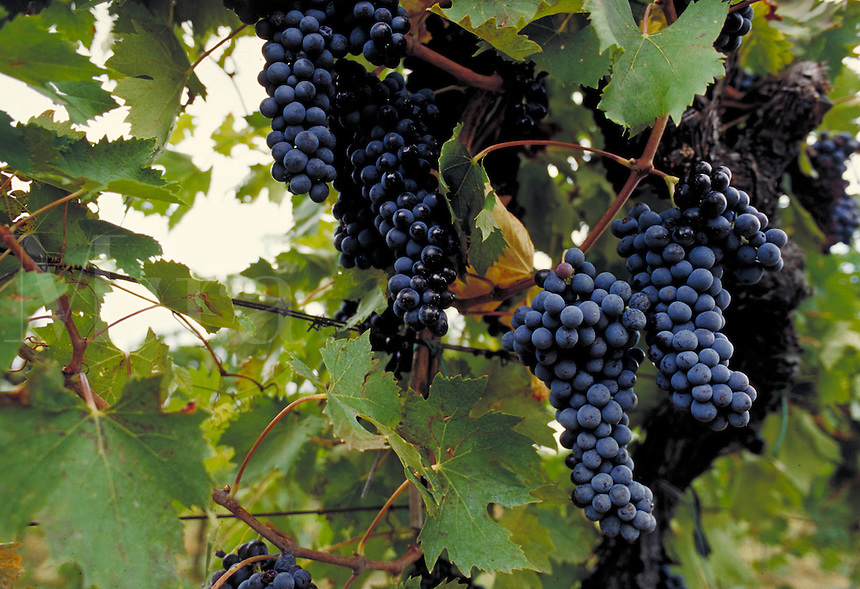Italian red grapes on the vine. Villa D'Elsa, Italy Vineyards.