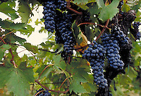 Italian red grapes on the vine. Villa D'Elsa, Italy Vineyards.