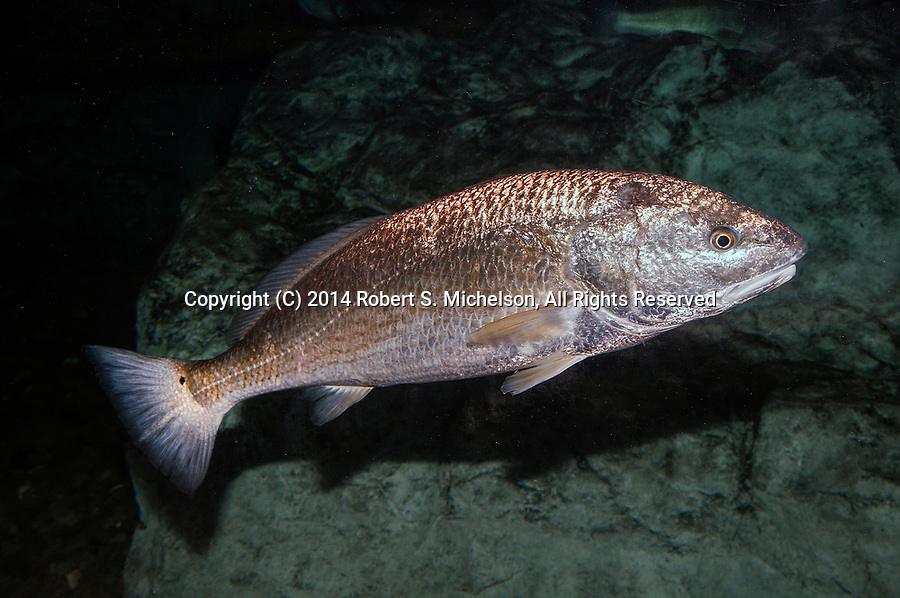 Red Drum swimming right