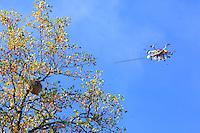 """The drone """"The Joker"""" flying towards a 25-meter high hornet's nest during an intervention.///Vol du drone «Le joker» vers un nid de frelon à plus de 25 mètres de hauteur lors d'une intervention."""