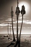 Salton Sea Palms