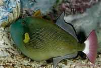 0118-08tt  Pinktail Triggerfish - Melichthys vidua © David Kuhn/Dwight Kuhn Photography