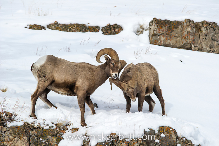 Male Rocky Mountain Bighorn Sheep (Ovis canadensis canadensis) sparring / fighting Lamar Valley, Yellowstone National Park, Wyoming, USA. January