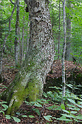 Old Yellow Birch (Betula alleghaniensis) - at Hubbard Brook Experimental Forest in the Woodstock, New Hampshire during the summer months. This is an outdoor laboratory for ecological studies.
