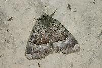 Schwarzes Ordensband, Mormo maura, Mania maura, old lady, black underwing, La Maure, Eulenfalter, Noctuidae, noctuid moths, noctuid moth