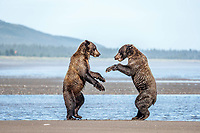 Coastal Brown bear juveniles play fight on beach coast in Lake Clark National Park.  Summer, Southwest, Alaska<br /> <br /> Photo by Jeff Schultz/  (C) 2019  ALL RIGHTS RESERVED<br /> <br /> Into the Wild Photo Tour Amazing Views