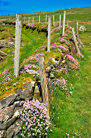 Fenceline with wildflowers of sea thrift or sea pink.County Kerry, Ireland