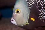 french angelfish, close-up