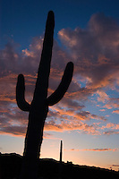 SAGUARO CACTUS (Carnegiea gigantea) silloutted by a sunset in SANORAN DESERT - PINACATE NATIONAL PARK, MEXICO