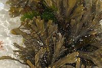 Sägetang, Säge-Tang, Fucus serratus, toothed wrack, serrated wrack, Saw Wrack